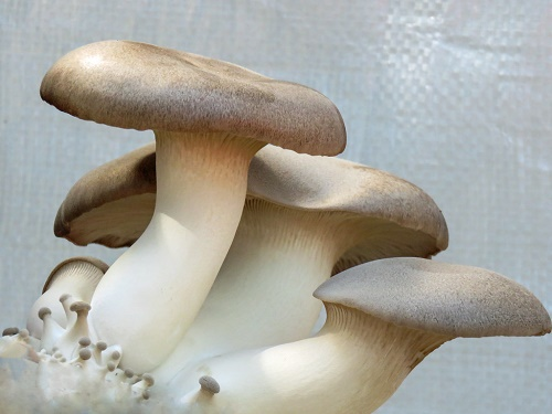 Mushrooms health benefits and classification
